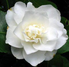 pure-white-camellia.jpg